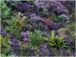 Blumen/655/schottische-hochlandfarben-erika-und-farn-06082008 Schottische Hochlandfarben, Erika und Farn. (06.08.2008)